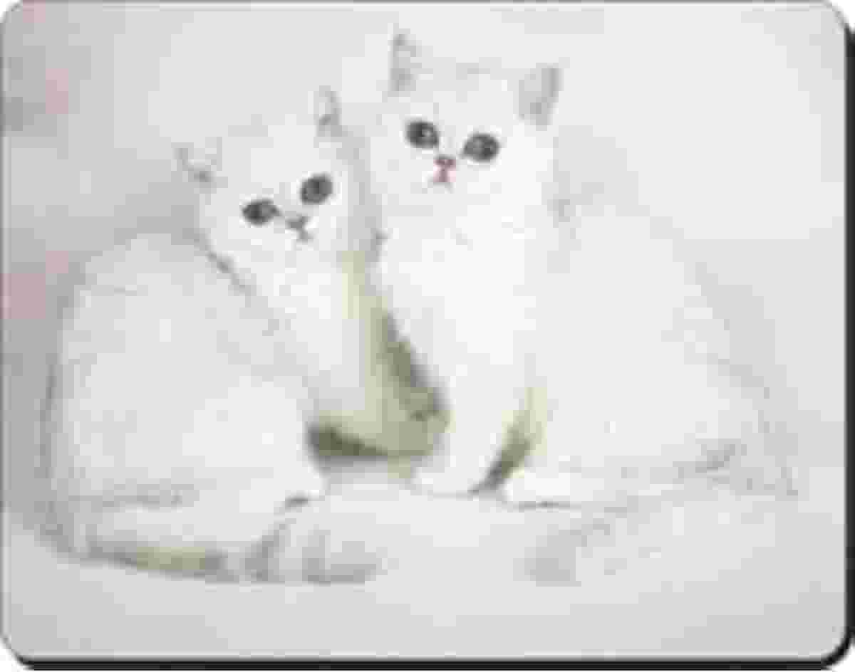 2 Witte Chinchilla Katten